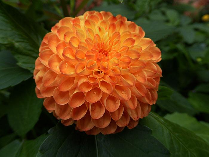 Foto van oranje bolvormige bloem