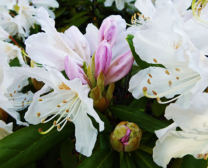 Foto van witte bloemen en roze knoppen