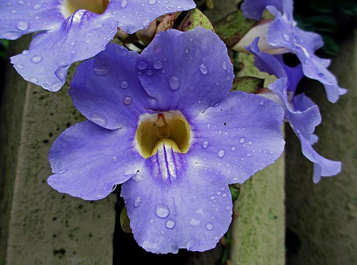 Foto van blauwe bloem met druppels
