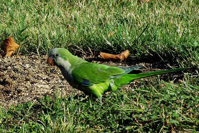 Foto van kleine, groene papegaai in het gras