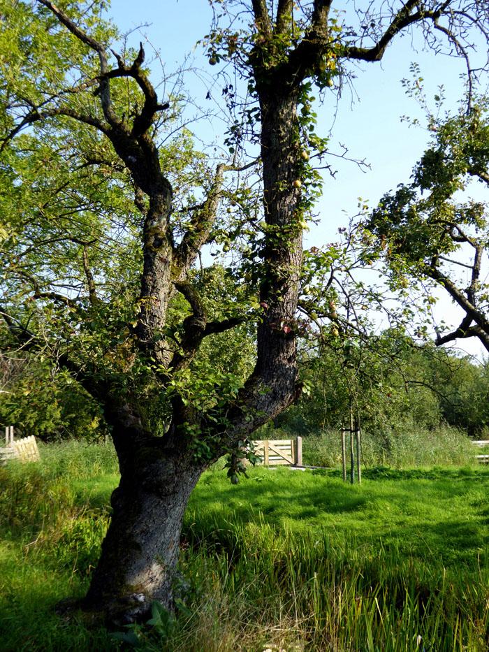Foto van grillige appelboom