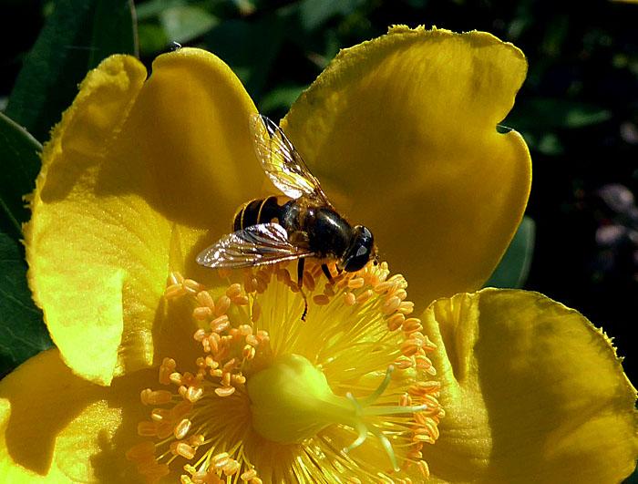 Foto van bij op gele bloem