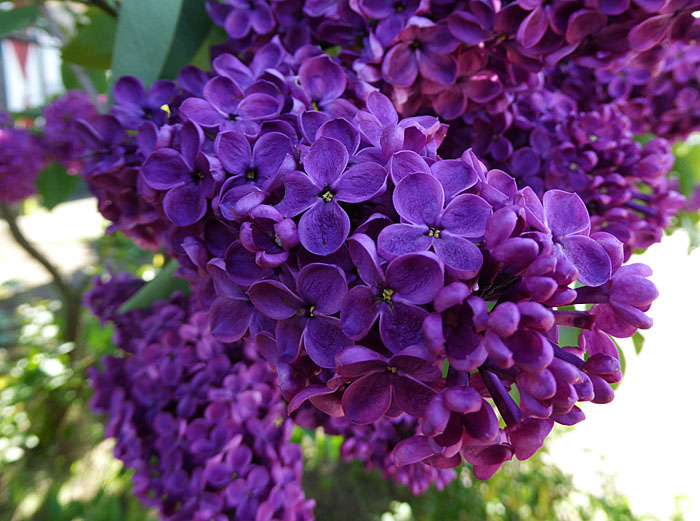 Foto van paarse bloemetjes