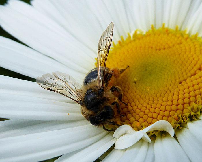 Foto van bij op bloem