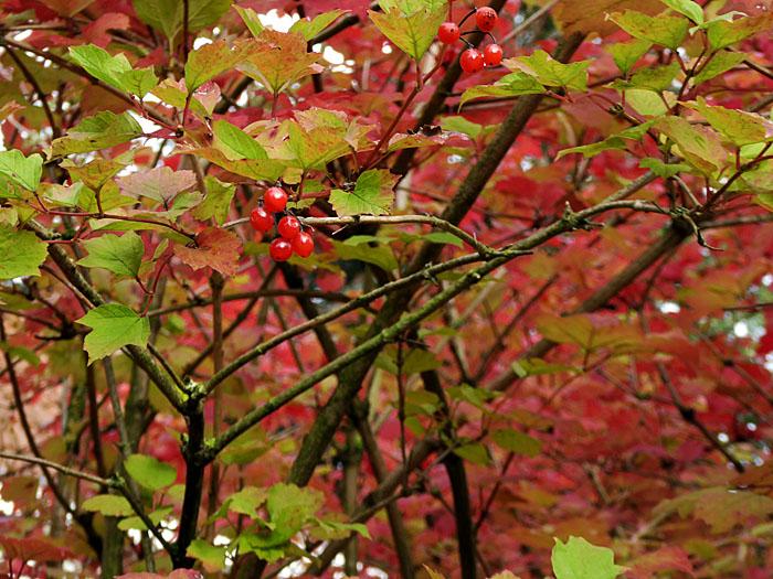 Foto van rode besjes tussen rode en groene bladeren