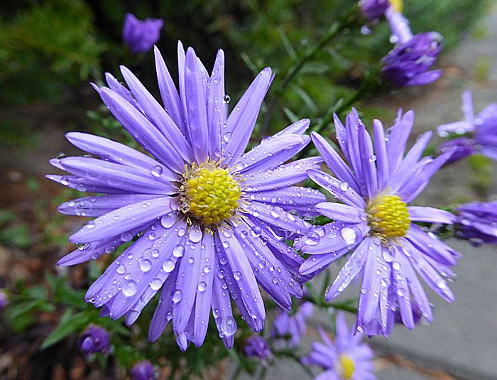 Foto van blauwe bloemen met druppels