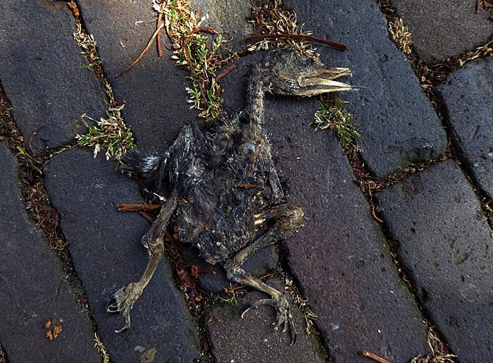 Foto van dode vogel op straatstenen