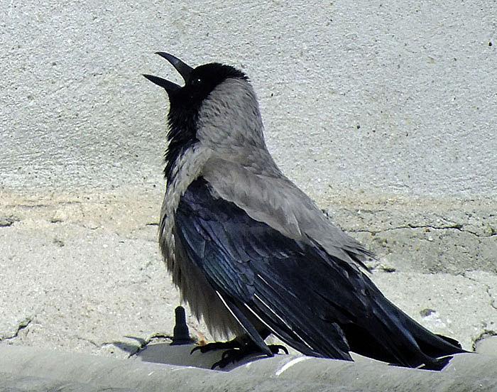 Foto van kraaiachtige vogel