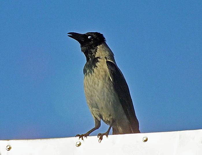Foto van grijs-zwarte vogel