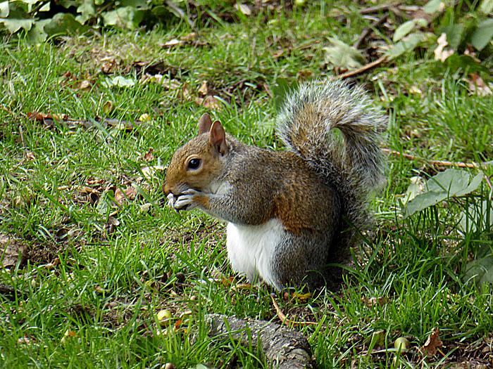 Foto van eekhoorn in het gras
