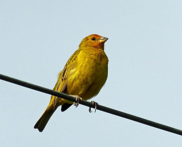 Foto van geel vogeltje op draad