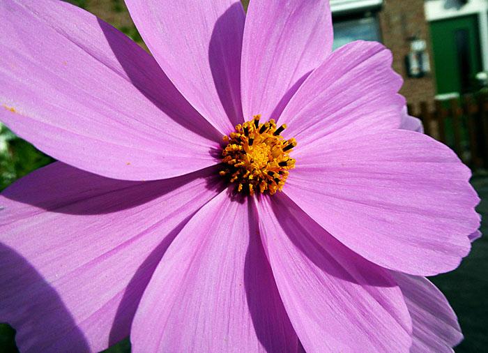 Foto van roze bloem met geel hart