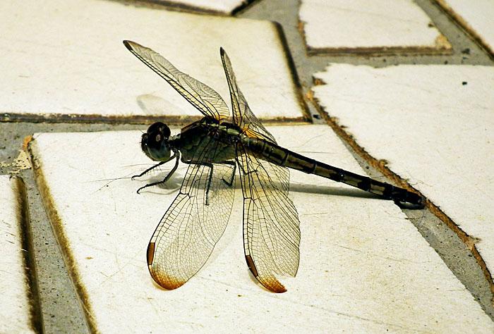 Foto van libelle op tegels