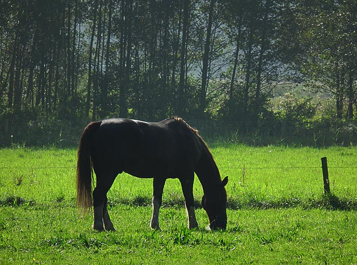 Foto van grazend paard