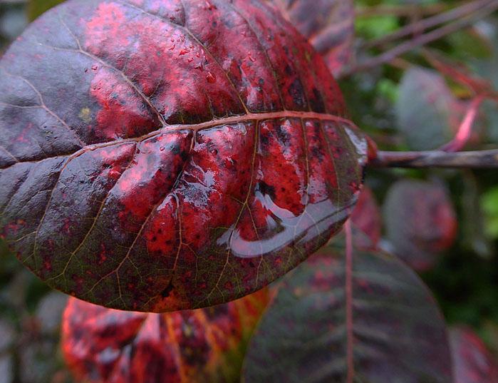 Foto van rood herfstblad met aanhangend water