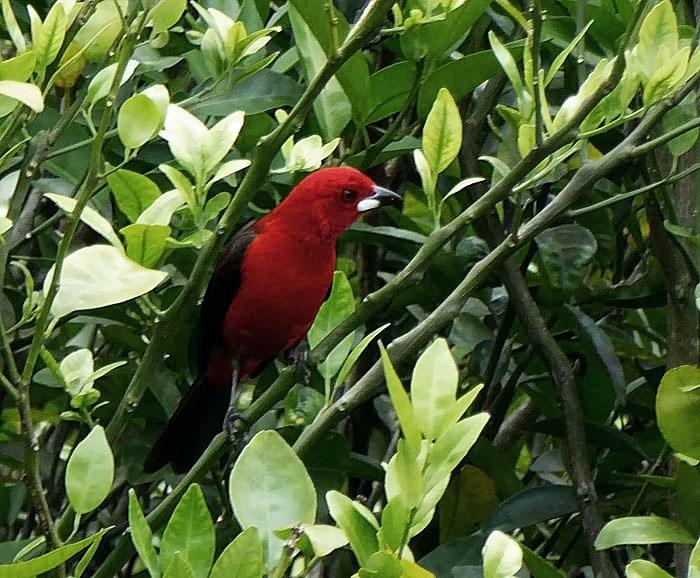 Foto van rood-zwarte vogel