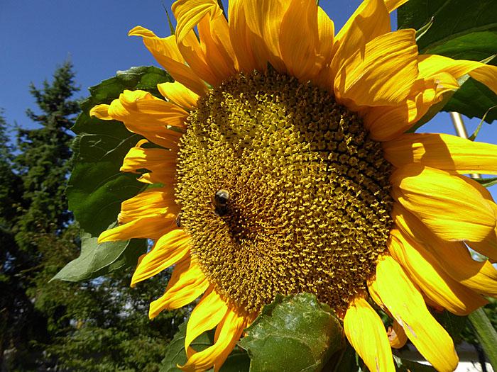 Foto van insect op zonnebloem