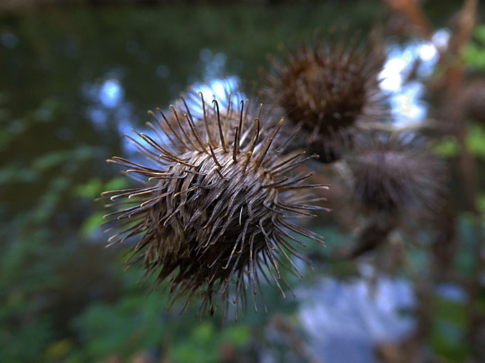Foto van bol met stekels (plant)