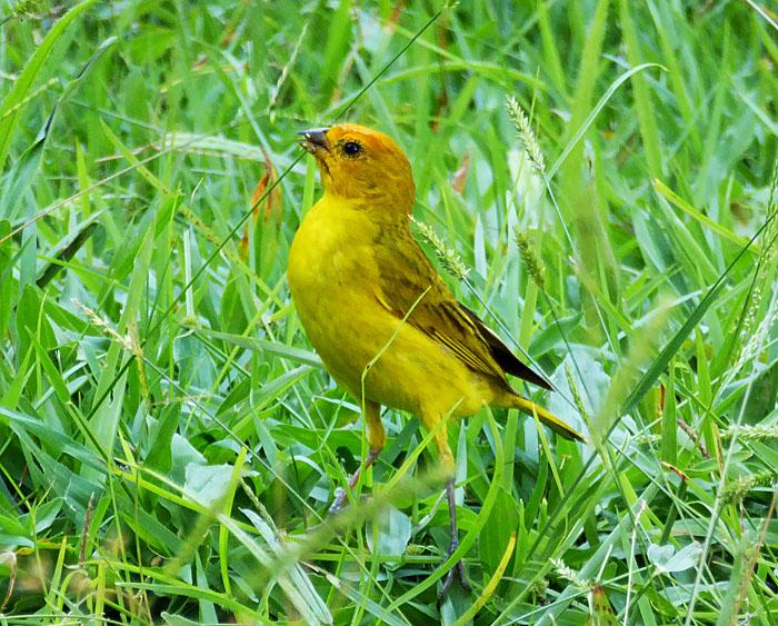 Foto van gele vogel in gras