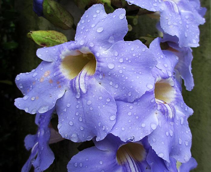 Foto van blauwe bloem met regendruppels