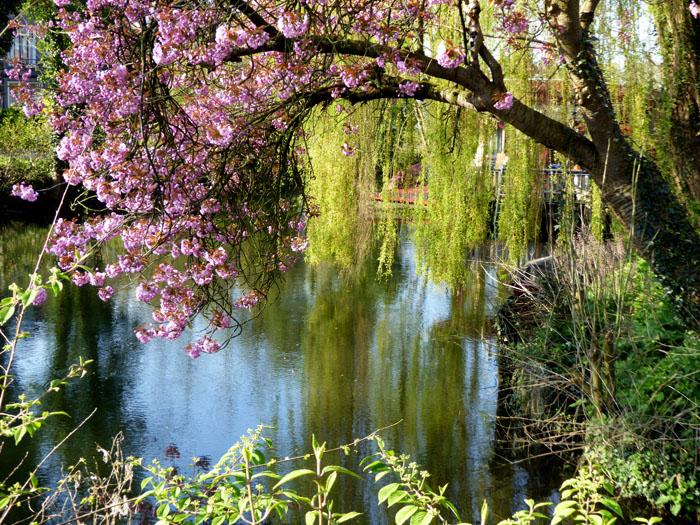 Foto van boom met roze bloesem en treurwilg