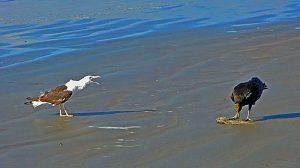 Foto woedende meeuw en gier