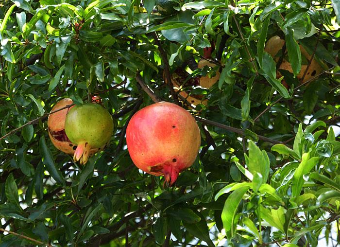 Foto van granaatappel aan boom