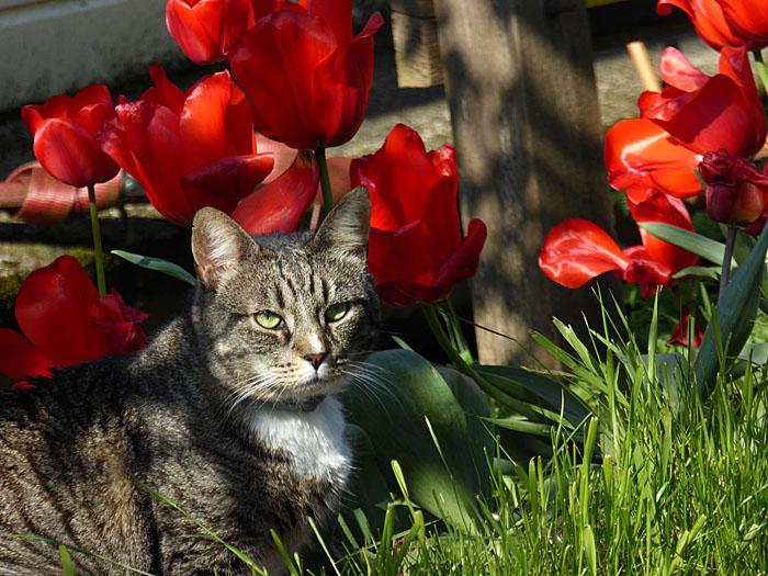 Foto van kat tussen rode tulpen