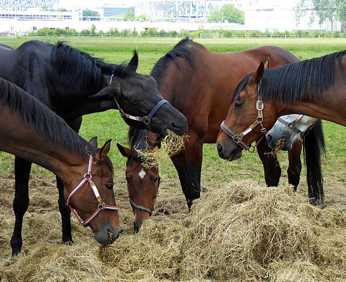 Foto van paarden rond hooi