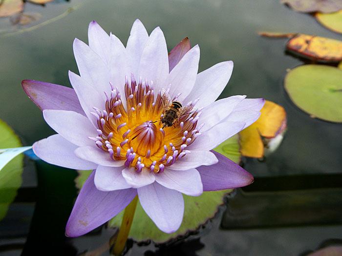 Foto van insect op waterlelie