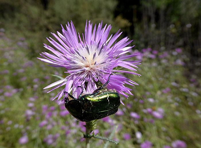 Foto van groenige tor hangend aan lila bloem