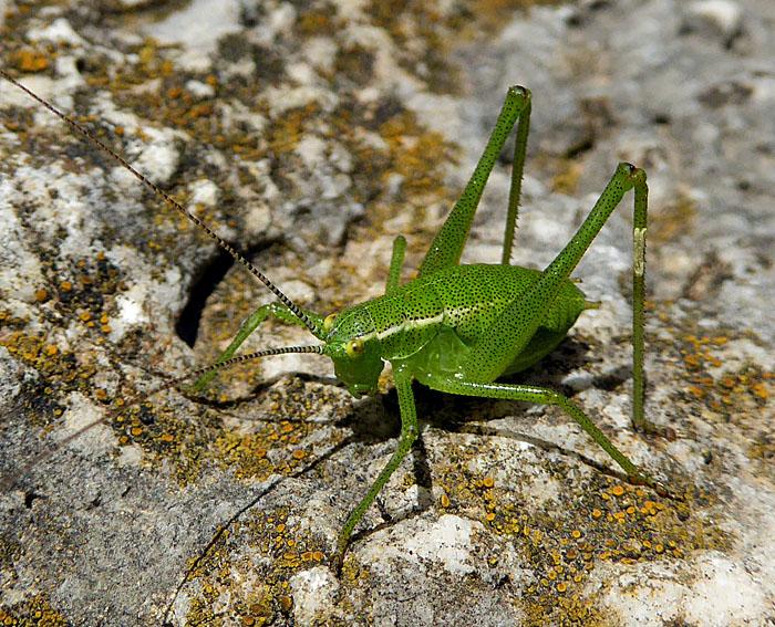 Foto van groene sprinkhaan