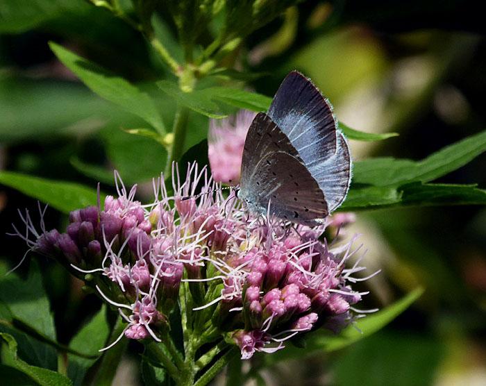 Foto van grijsbaluwe vlinder op bloem