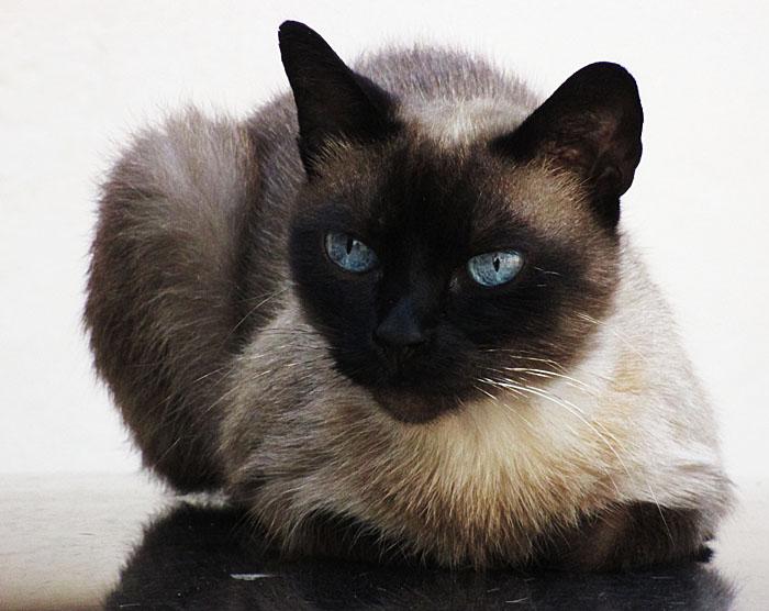 Foto van kat met blauwe ogen