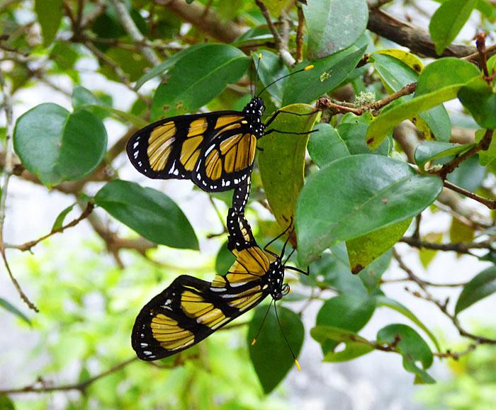 Foto van parende vlinders