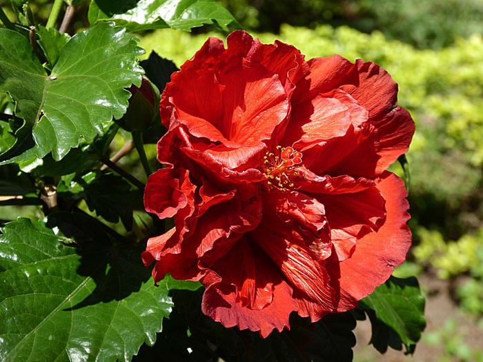Foto van rode bloem met in elkaar gefrommelde bloembladen