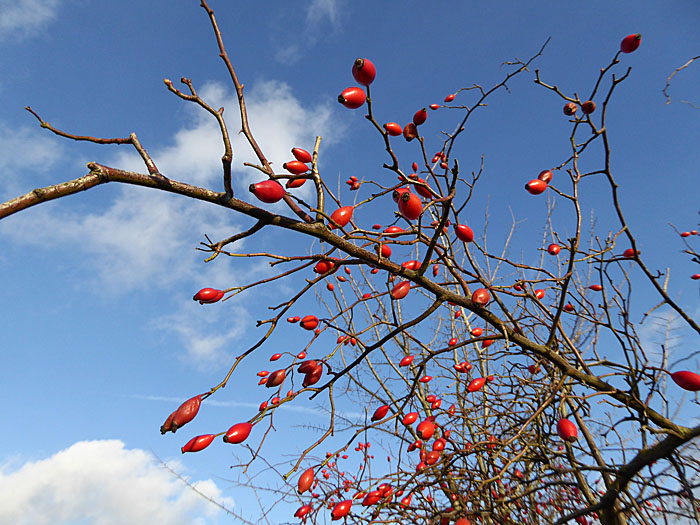 Foto van takken met oranje vruchtjes