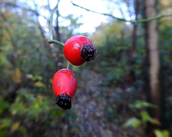 Foto van rode vruchtjes in bos