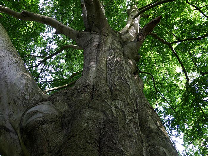 Foto van dikke boom