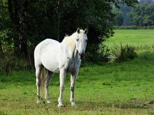 Foto van paard kijkend naar fotograaf
