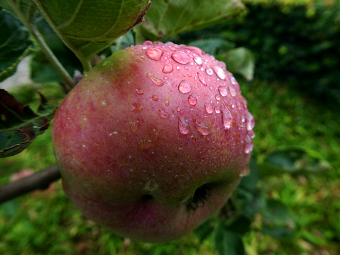 Foto van appel met regendruppels