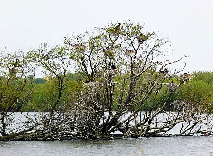 Foto van nesten van aalscholvers in bomen