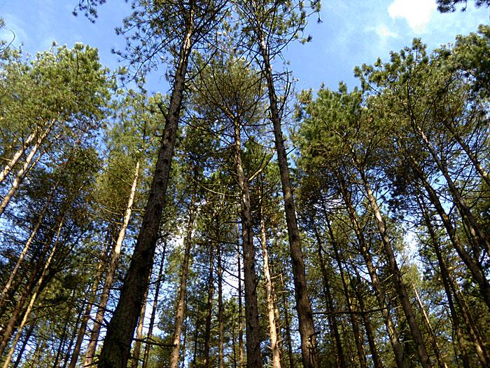 Foto van hoge, dunne bomen