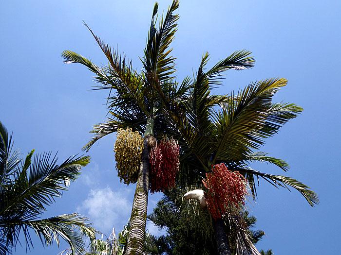 Foto van toppen van palmbomen