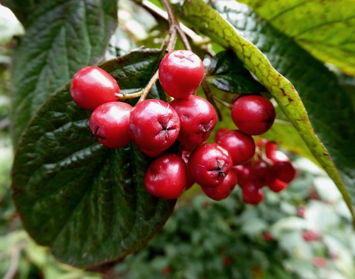 Foto van rode vruchtjes