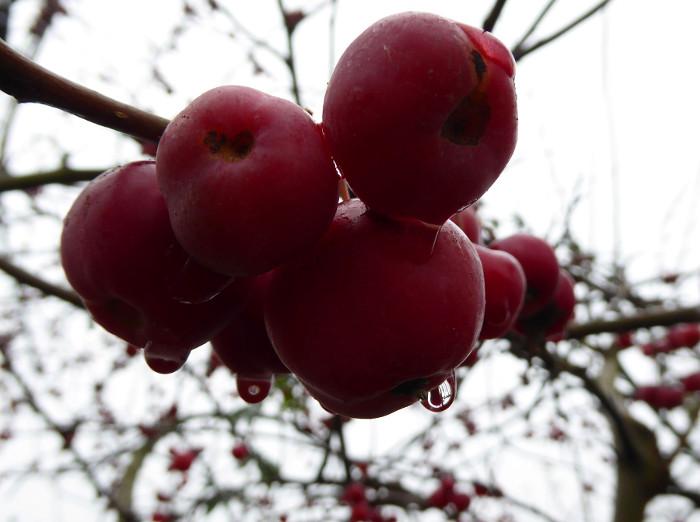 Foto van druppel aan rode vruchtjes