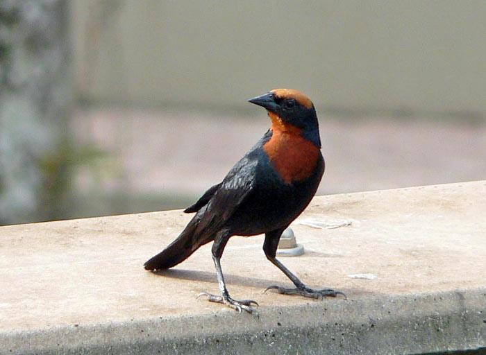 Foto van zwarte vogel met roodoranje kop en borst