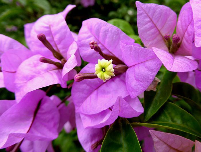 Foto van bloem van bougainville