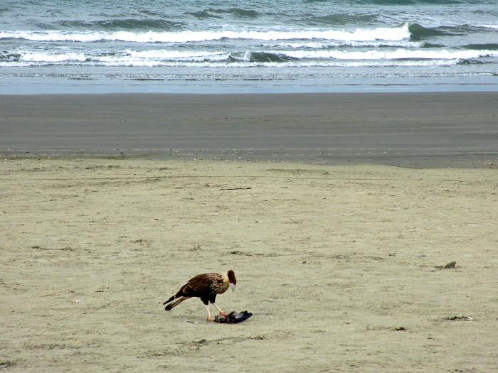 Foto van vogel met prooi op het strand