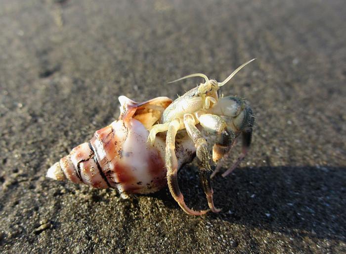 Foto van krabbetje, dat uit schelp klimt